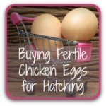 Where to find hatching eggs for sale.