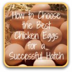 Choosing hatching eggs - link.
