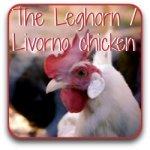 The Livorno, or Leghorn chicken.