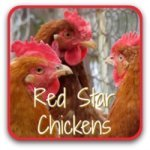 Red Star chickens: excellent layers of light brown eggs.