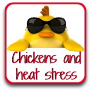 Thumbnail chickens and heat stress