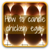 How to candle your incubated chicken eggs for a successful hatch - link.