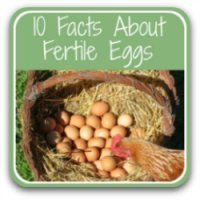 Fertile chicken eggs: 10 facts you need to know. Link.