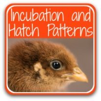 Find my step by step guide to incubating and hatching chickens here!