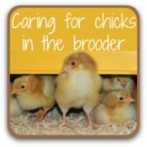 Caring for chicks in the brooder - link.