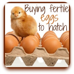 Need fertile eggs to hatch?  Here's where to find the best.