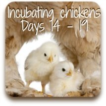 Incubating chicken eggs : days 14 to 19.
