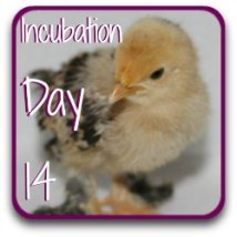 Want to see what happens at day 14 of incubation? Here's a link.
