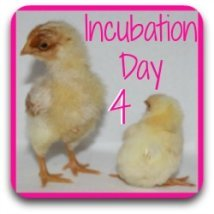 Missed out on what happens on day 4 of incubation? No problem - just click here!