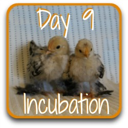 Want to jump across to tomorrow? Here's a link to day 9 of incubation.