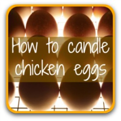 Click here for a step by step guide to candling eggs.