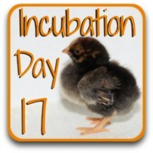Go back a day to day 17 of the incubation process.