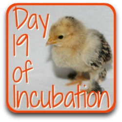 Skip ahead to day 19 of incubation by clicking here.