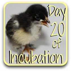 Jump ahead to Day 20 of chicken egg incubation.