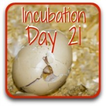 Have a look at what happens on the final day of incubation