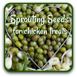 Want some healthy, inexpensive treats for your hens? Click here for a sprouting seed recipe.