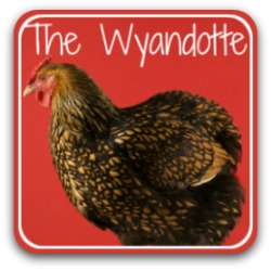 Wyandotte chicken