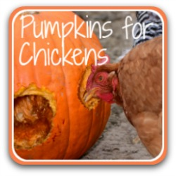 Pumpkins for chickens - link.