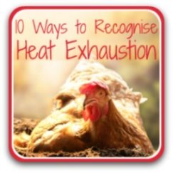 Symptoms of heat exhaustion in chickens - link.