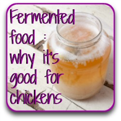 Fermented food: why it's good for chickens.