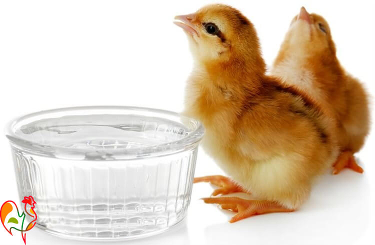 Two baby chicks with bowl of water.
