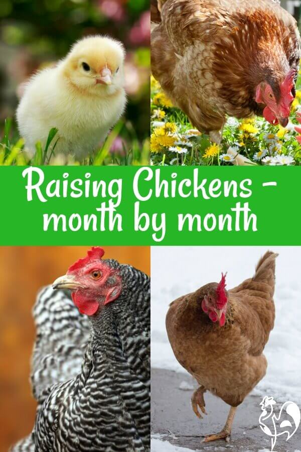 How to raise backyard chickens, month by month - Pin for later.