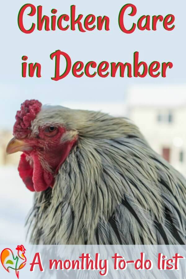Tasks around the chicken coop in December - save and Pin for later!