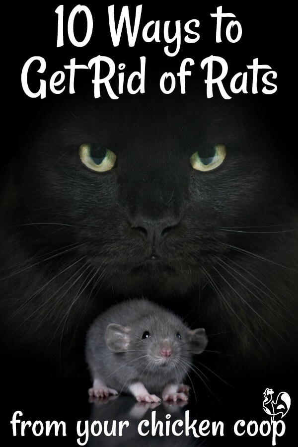 The 10 most common ways to get rid of rats - Pin for later.