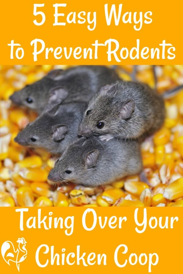 5 easy ways to stop rodents taking over the coop - Pin for later.