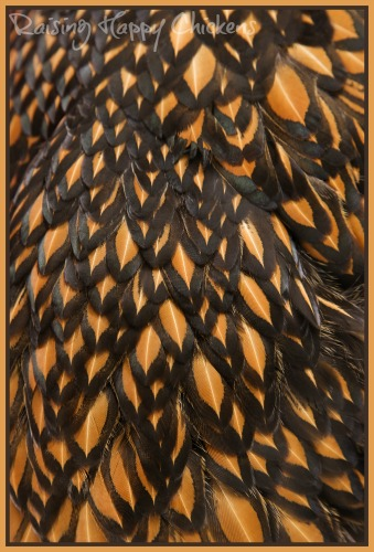 Wyandotte golden laced feathers