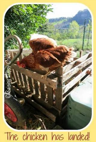 My chickens like to fly up onto the compost heap to perch.