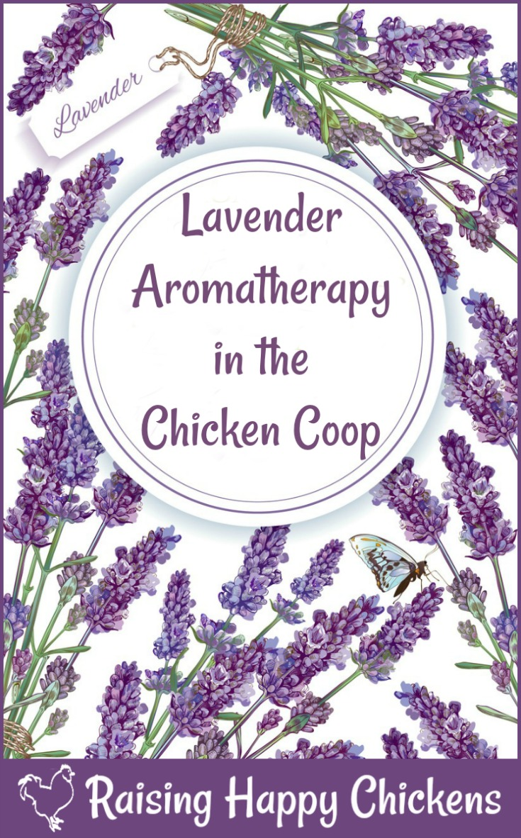 Aromatherapy for chickens - how ot use lavender in the chicken coop.