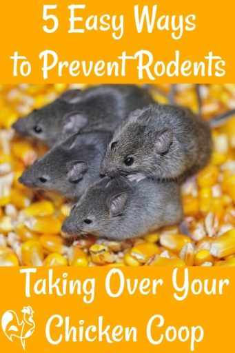 5 steps to preventing rats in the chicken coop. Link.