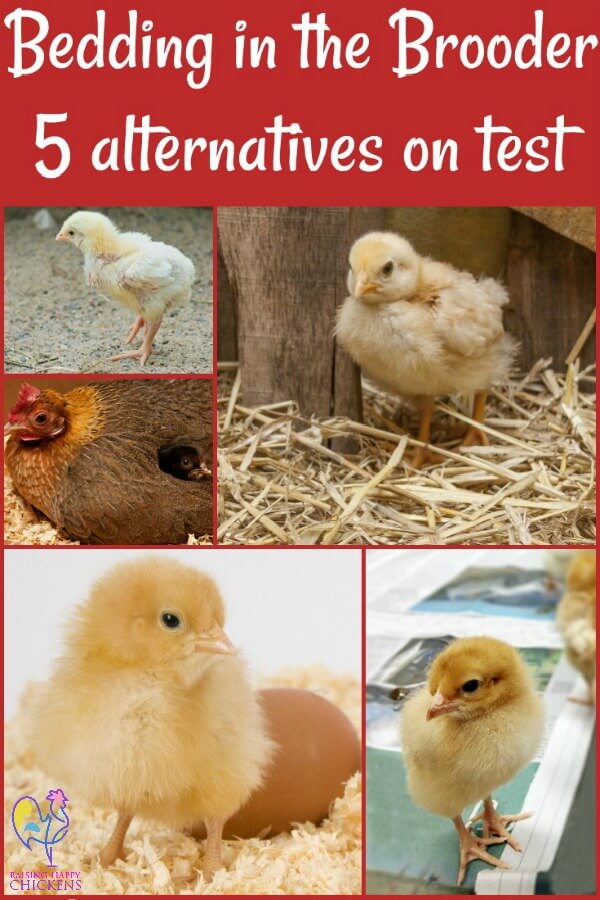 So you've got chicks ready to go into the brooder. What works best as bedding during those important first weeks? Here are five possibilities on test: pros, cons and