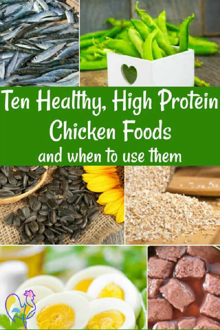 Your chickens need high protein feeds at certain times, but too much can kill them. Here are ten of the best high protein foods, with information about when they need it and how much to give.
