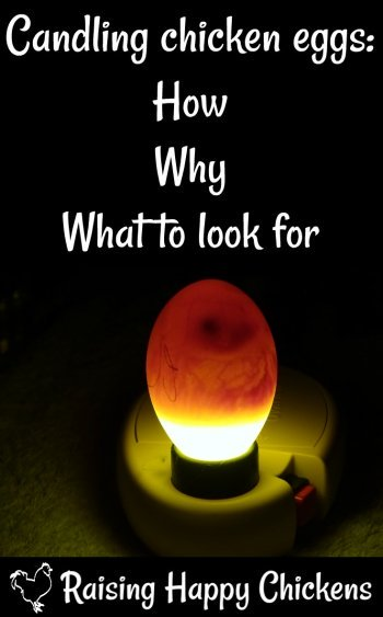 Candling eggs how to watch a speck grow into a chick