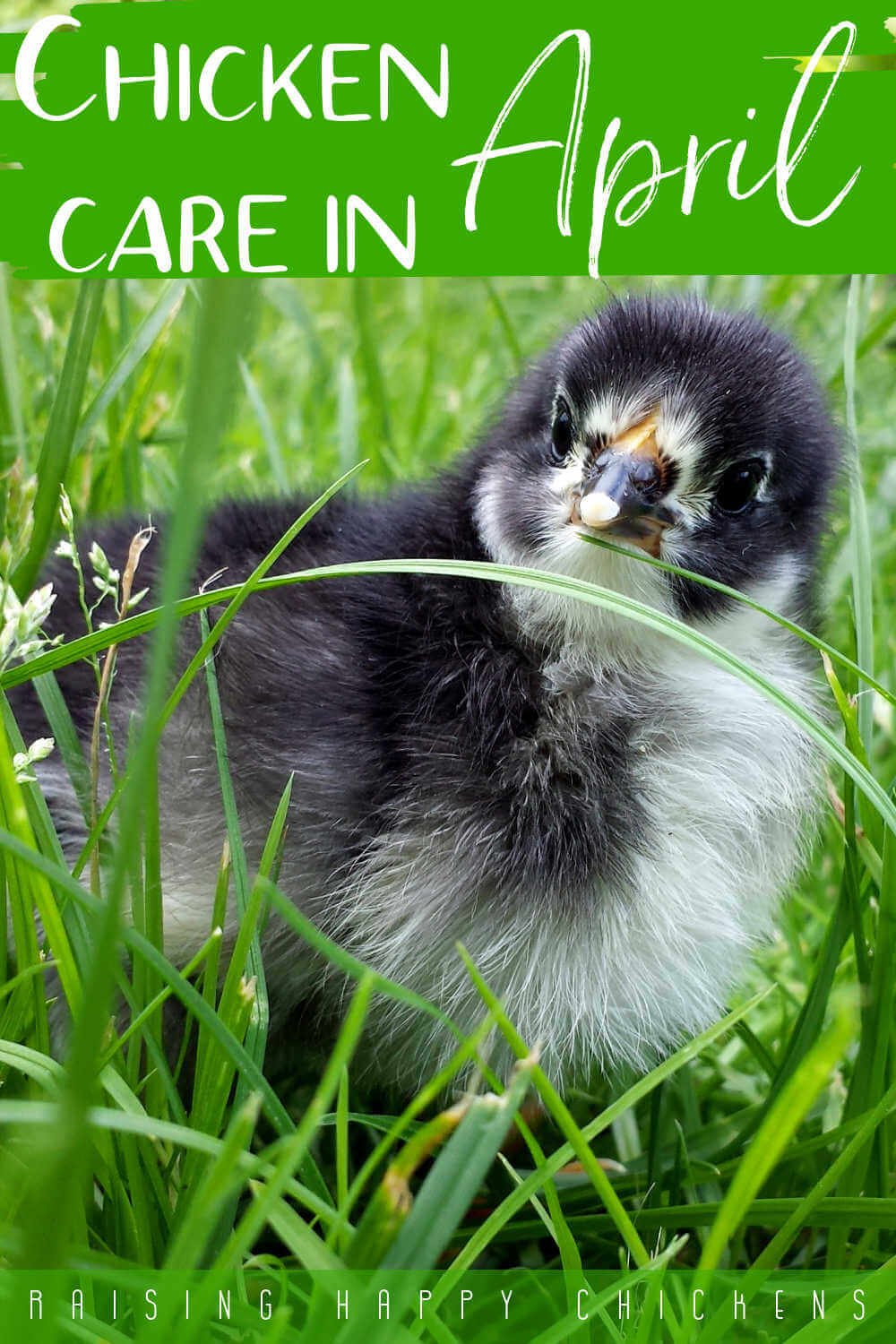 Chicken care in April: 20 tasks to do during the month. Pin for later.