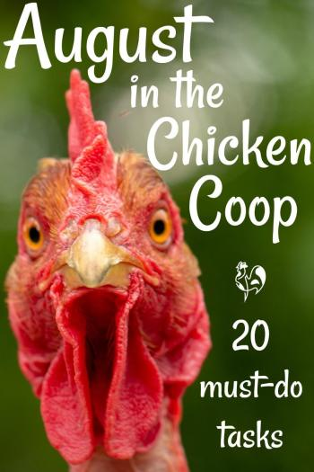 Raising chickens in August - 20 must-do tasks. Pin for later.