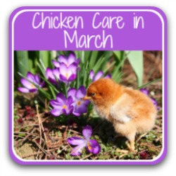 Chicken care in March - Pin for later!