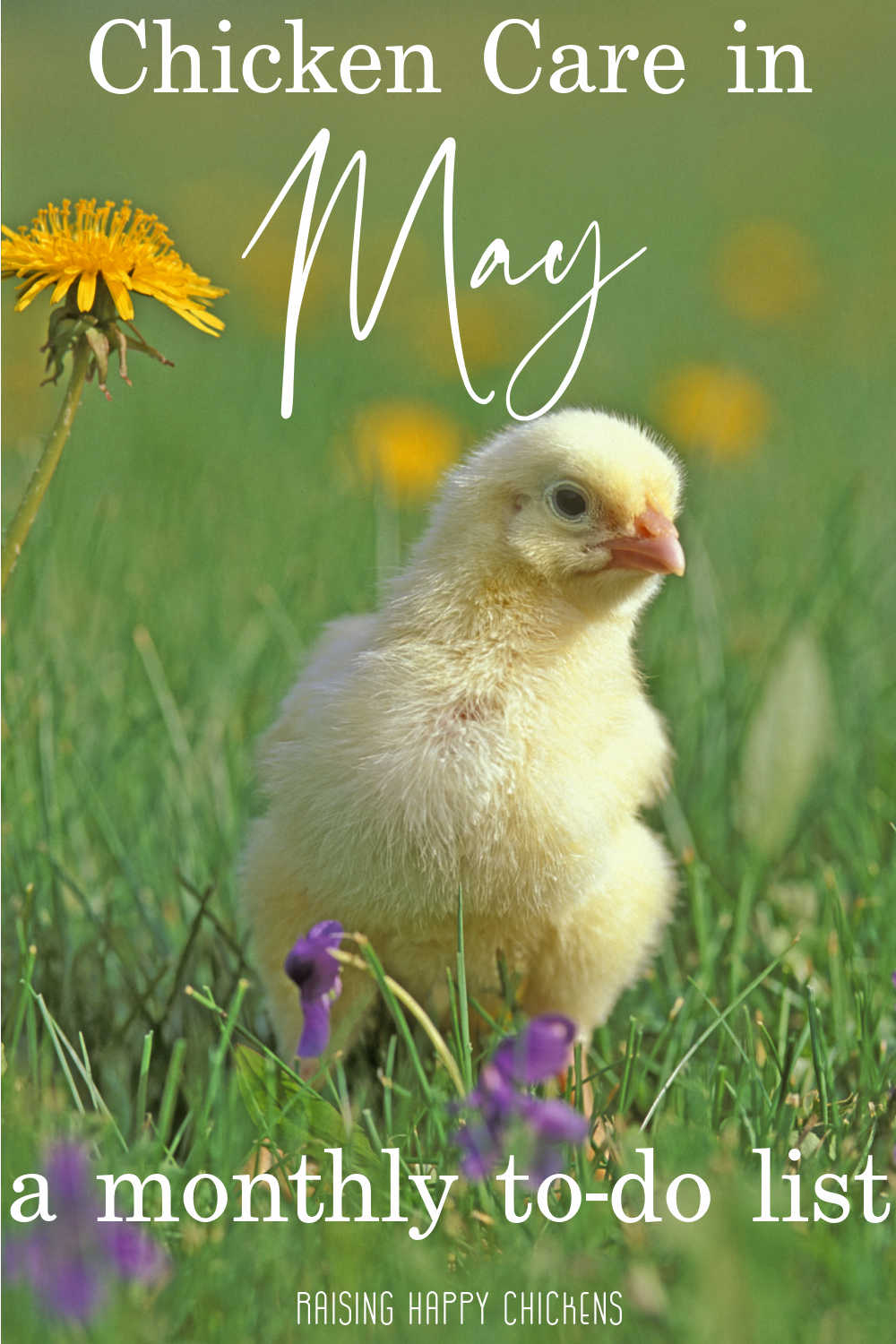 Chicken care in May - Pin for later.