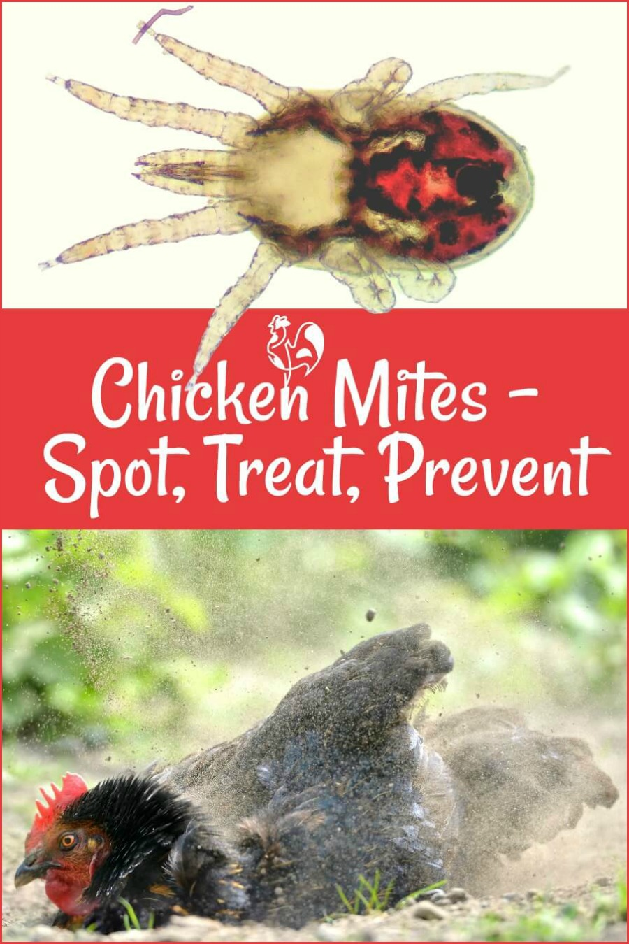 Chicken mites: how to spot, treat and prevent. Pin for later.