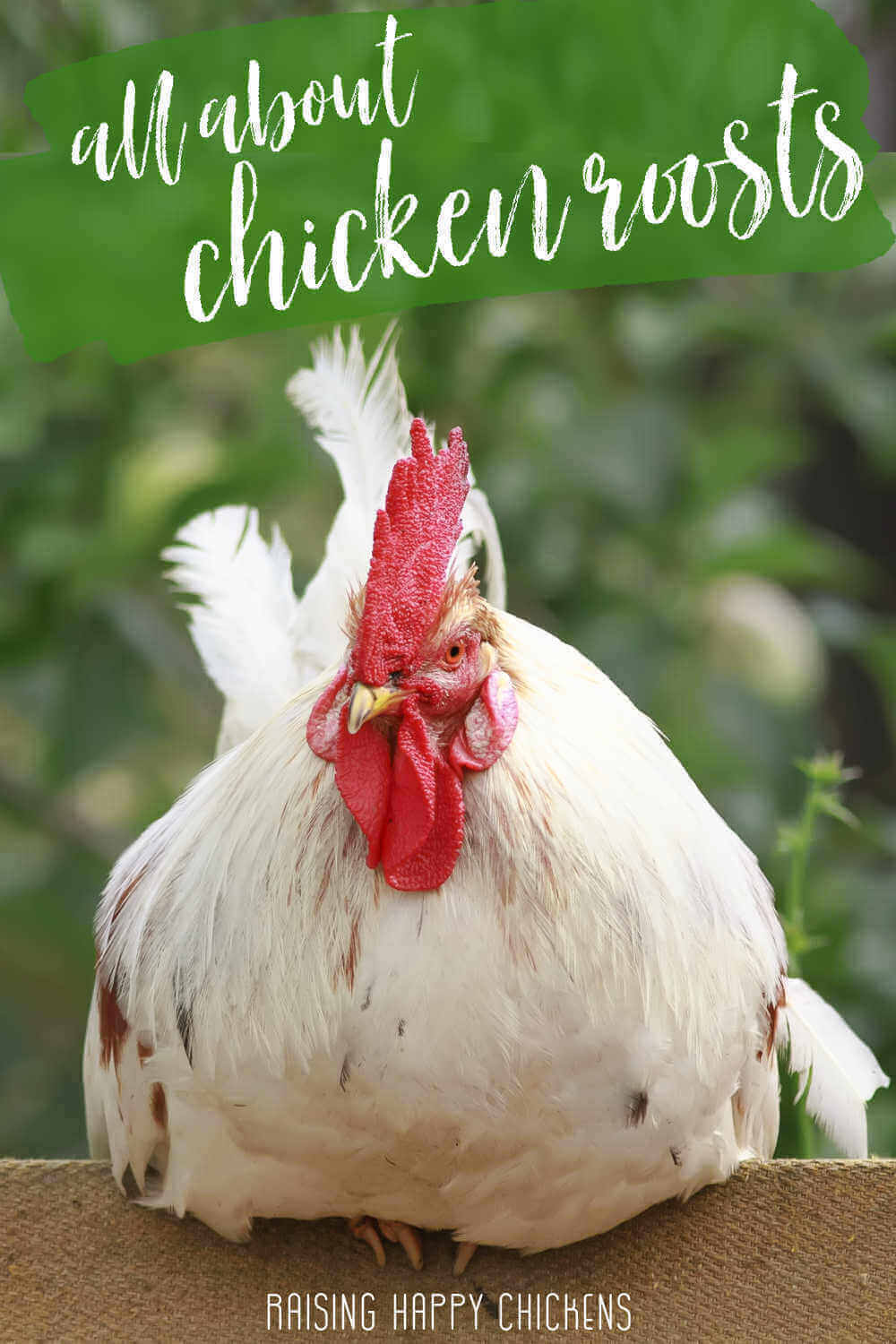 All about chicken roosts - Pin for later.