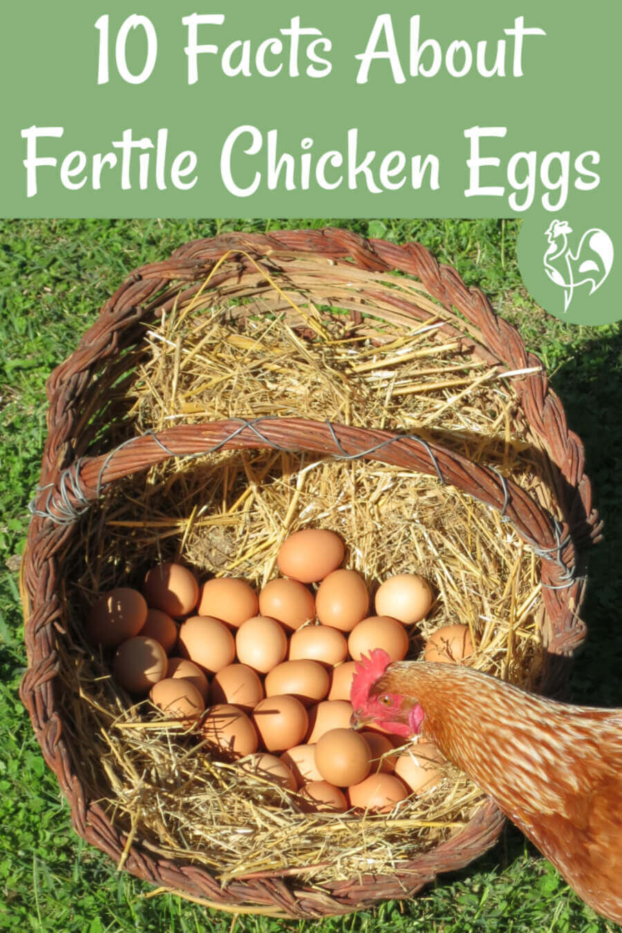 10 facts about fertile chicken eggs which beat the myths, including are supermarket eggs fertile? #backyardchickens #hatching #hatchingchicks #babychicks #incubatingchickeneggs #fertileeggs