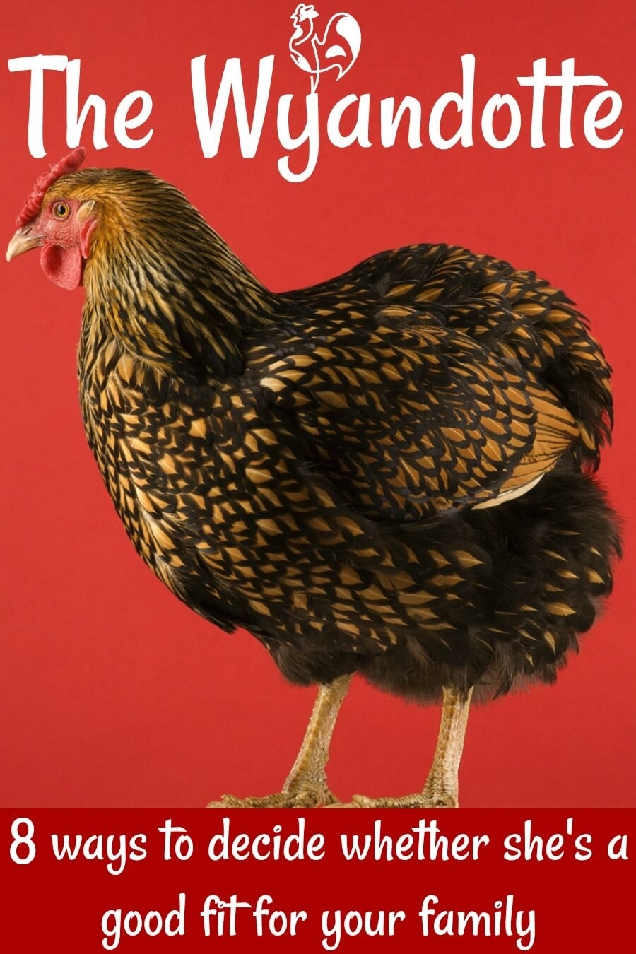 Wyandotte chickens: the right breed for you? 8 ways to decide