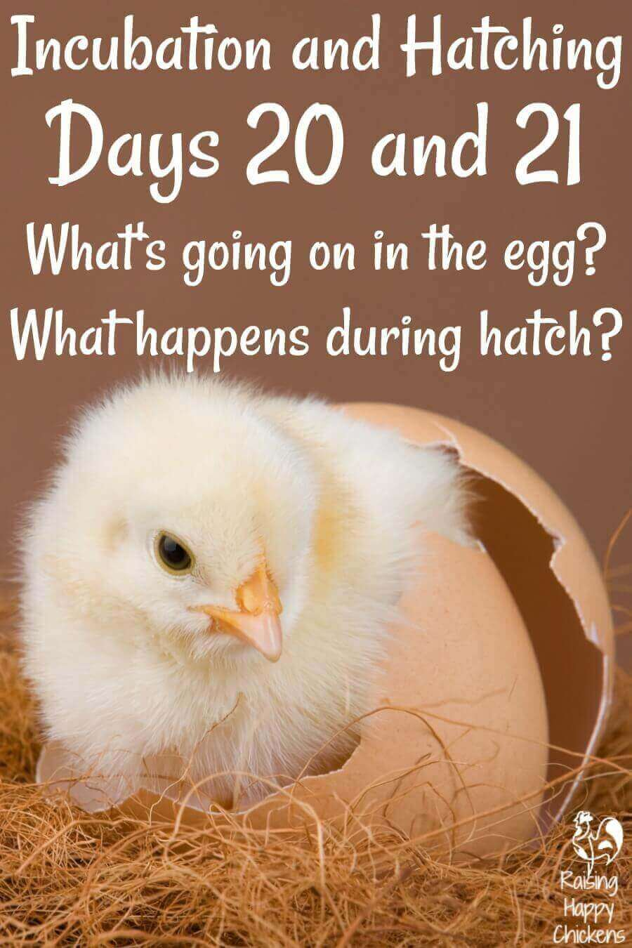 Pin: Incubating and hatching days 20 and 21.