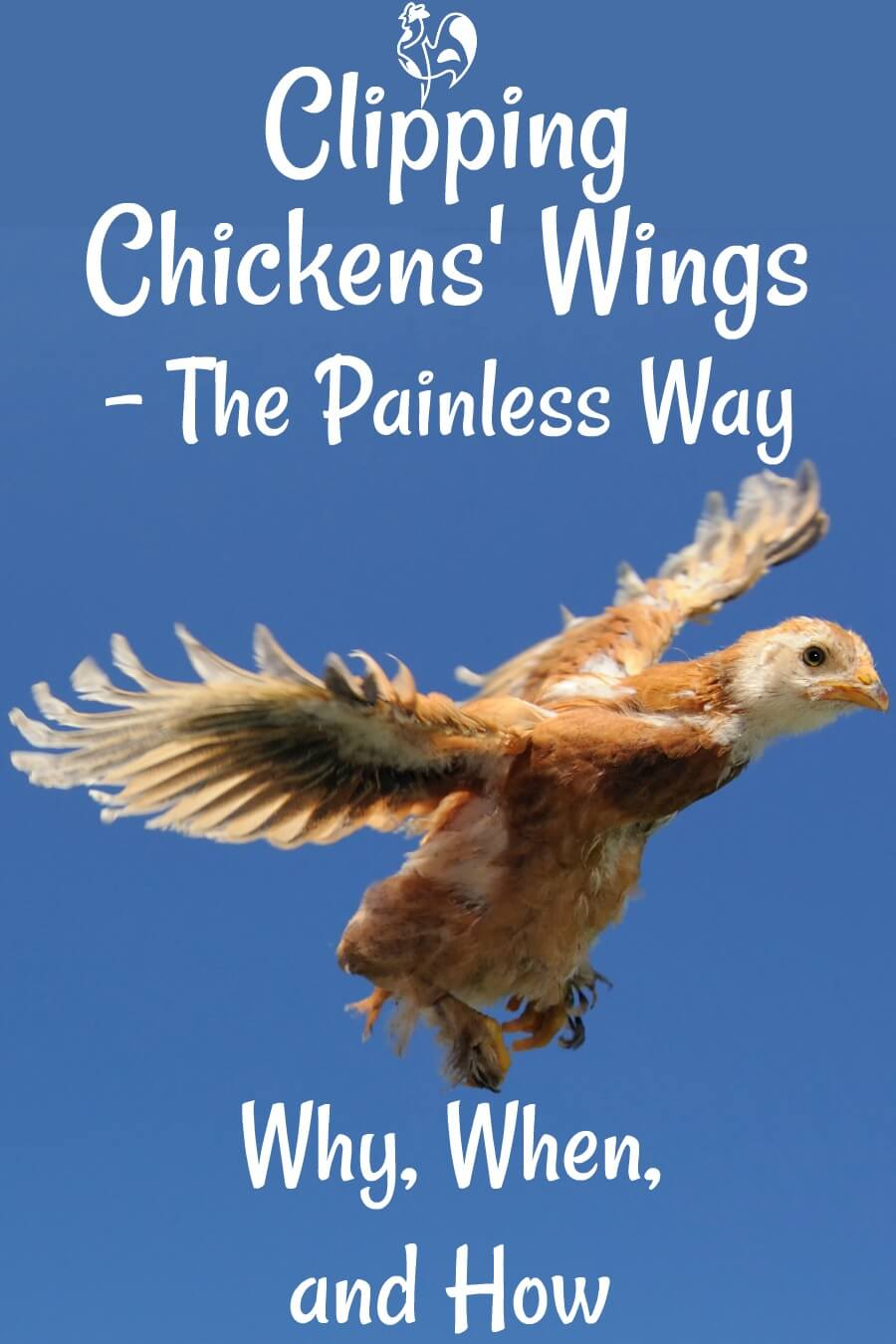 Worried about your girls flying into danger? Chickens can fly from a very young age, and often fly into danger. Here's how to clip chickens' wings without causing them - or you - any pain!