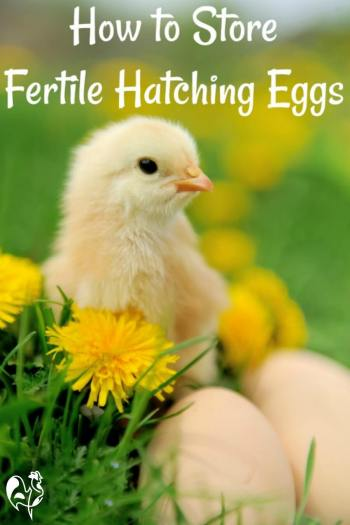 How to store fertile chicken eggs: Pin for later.