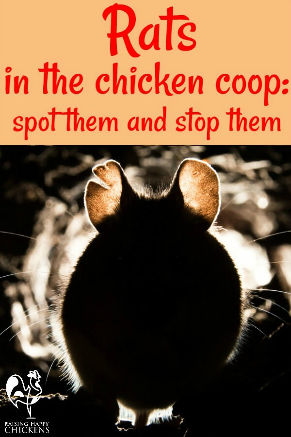 A rat attack in your chicken coop will never happen to you? One day it will. Here's how to spot it, deal with it and prevent it.