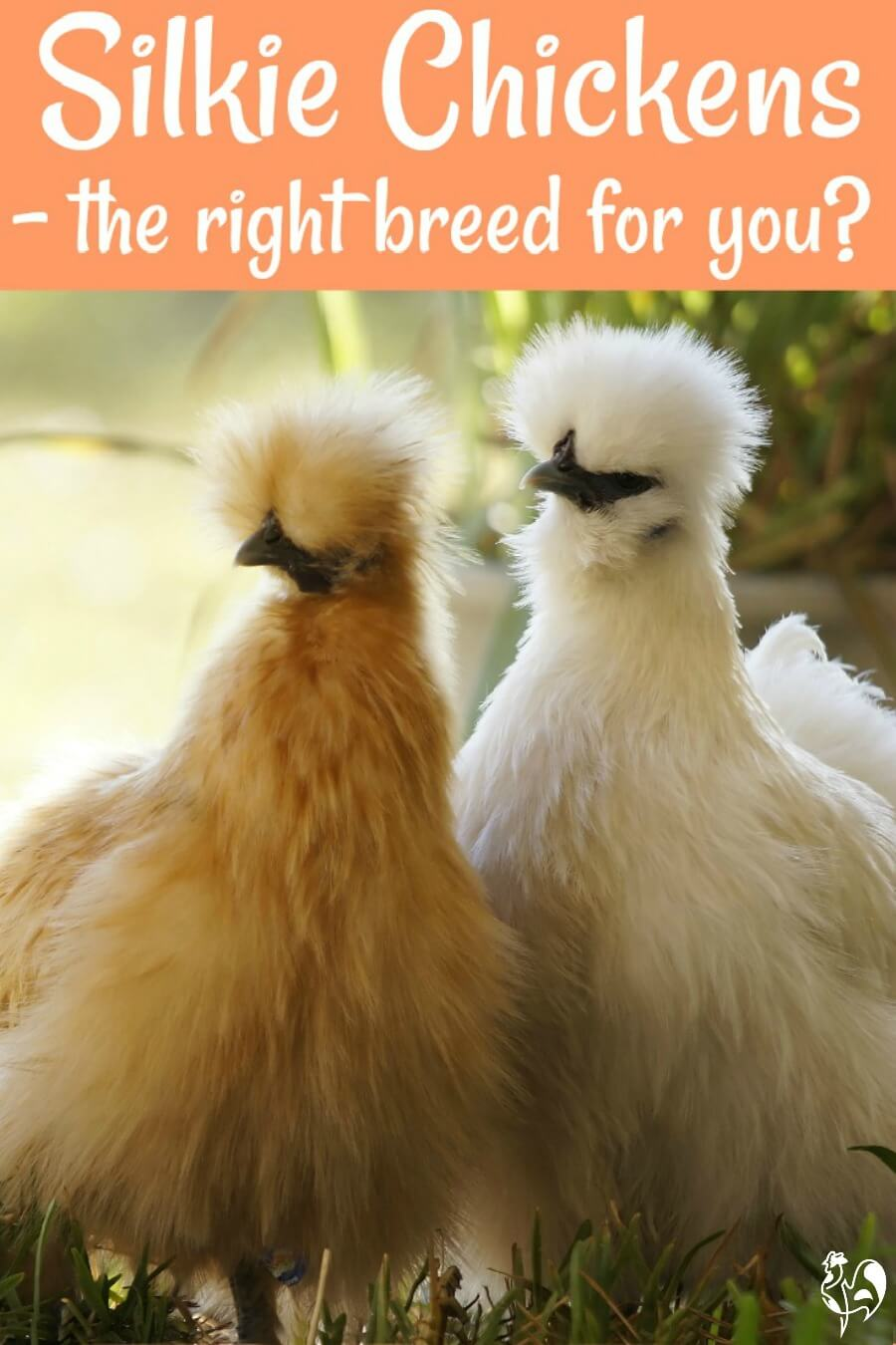 Silkie chickens: cuddly, kind, non-aggressive roos, good broodies - but are they the right chicken breed for your family? Find out, here!