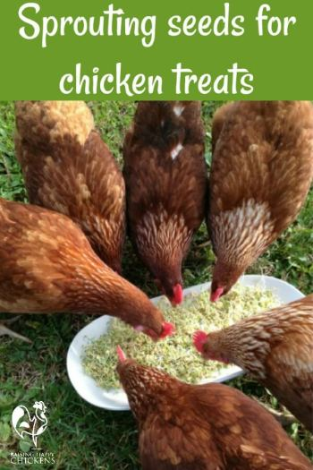 Chickens love sprouting seeds - they're an inexpensive, protein-rich treat! Learn how to make them here!